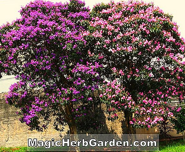 Planter: Tibouchina (Glory Tree)