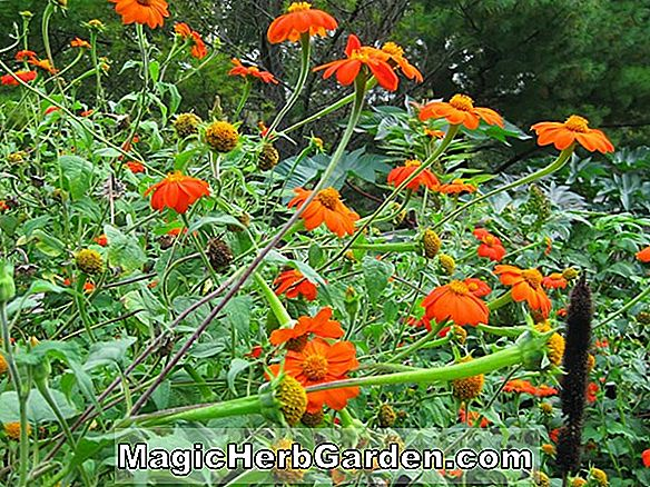 Tithonia rotundifolia (Torch mexicansk solsikke)