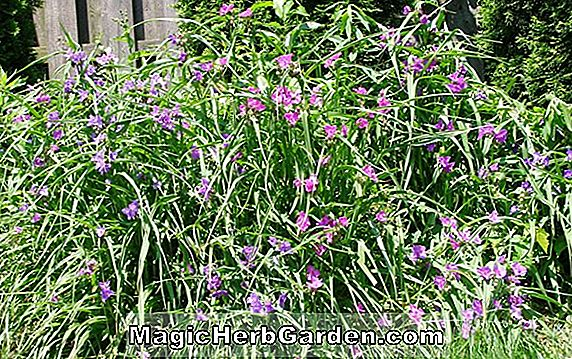 Tradescantia Andersoniana Group (Purewell Giant) - #2