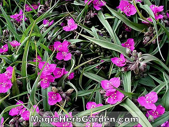 Planter: Tradescantia Andersoniana Group (Red Cloud)