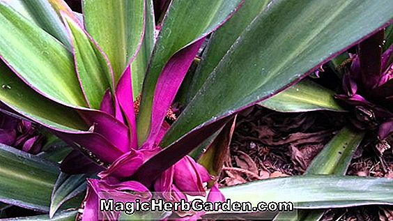 Tradescantia spathacea (Moses-in-the-cradle)