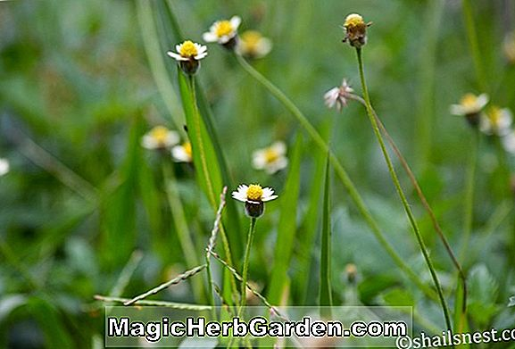 Planter: Tridax procumbens (Coat Buttons)