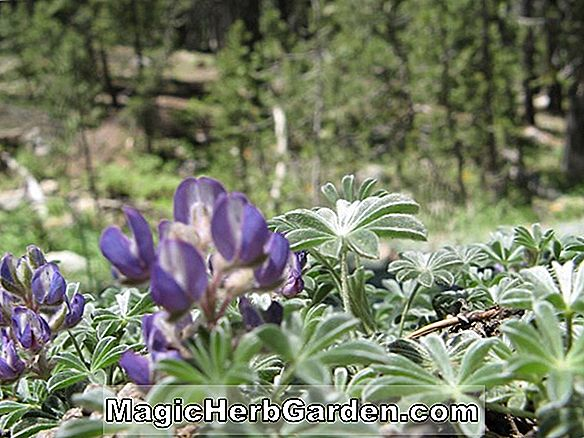 Planter: Triteleia ixioides (Pretty Face)