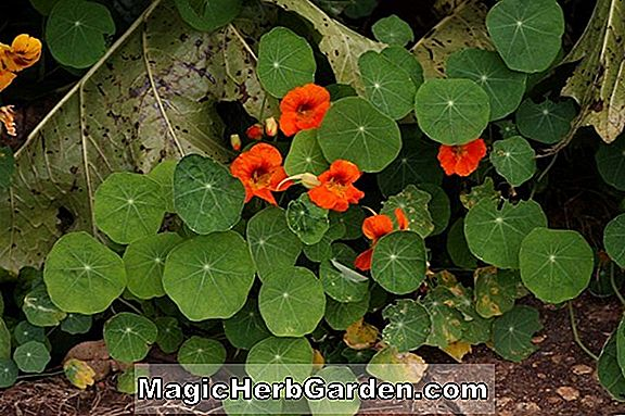 Planter: Tropaeolum Tom Thumb Series (Tom Thumb Series Nasturtium)
