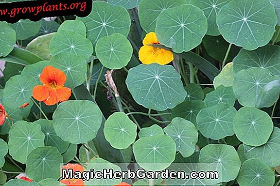 Tropaeolum majus (Jewel Series)