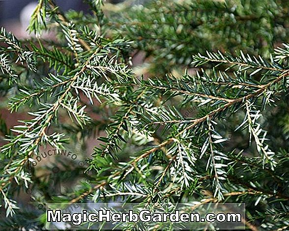 Planter: Tsuga canadensis (Cloud Prune Canadian Hemlock) - #2