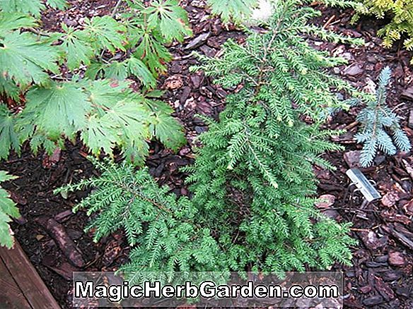 Tsuga canadensis (Far Country Kanadischer Hemlock)