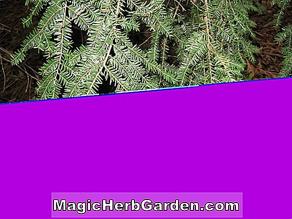 Planter: Tsuga canadensis (Little Joe Canadian Hemlock)