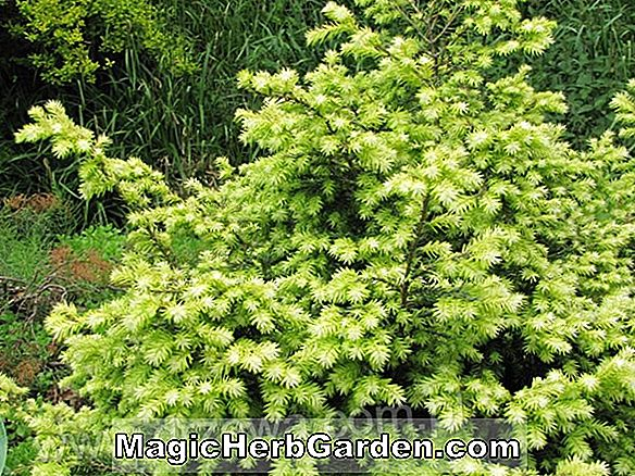 Tsuga canadensis (Betty Rose Canadian Hemlock) - #2