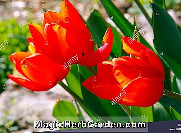 Planter: Tulipa (Orange Elite Tulip)