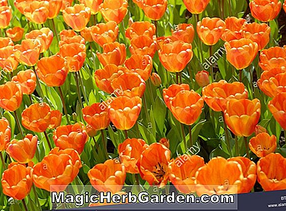 Tulipa (Orange Triumph Tulip)