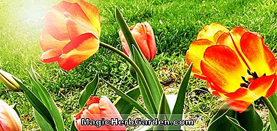 Planter: Tulipa (Purple Star Tulip)