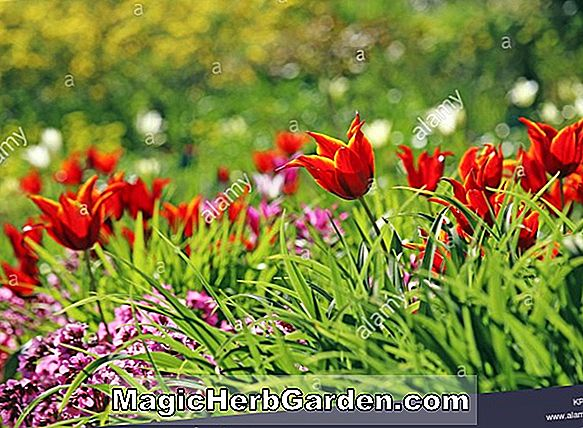 Planter: Tulipa (Queen of Sheba Tulip)