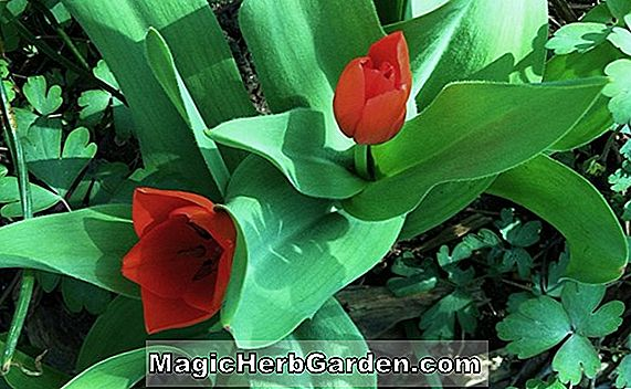 Planter: Tulipa (Red Sensation Tulip)