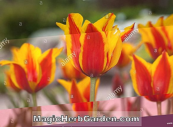 Planter: Tulipa (Red Shine Tulip)