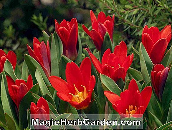 Planter: Tulipa (Shakespeare Tulip)