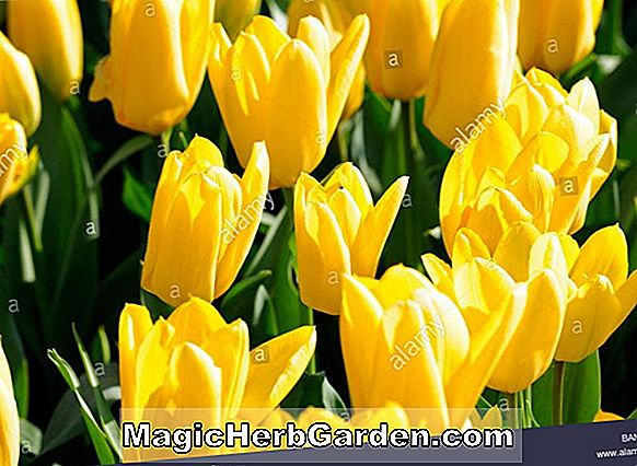 Tulipa (Candy Club Tulip)