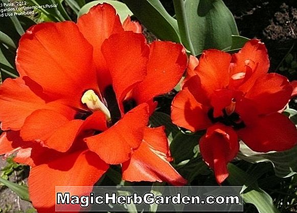 Planter: Tulipa (Afterglow Tulip)
