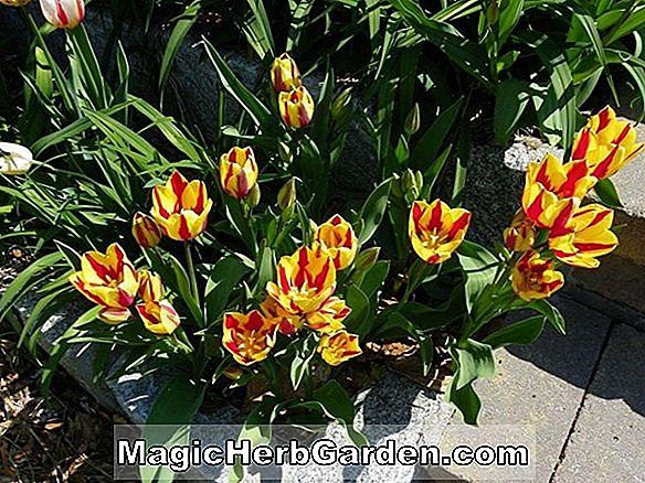 Tulipa (Color Spectacle Tulip)