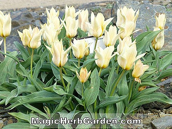 Planter: Tulipa (Crystal Beauty Tulip)