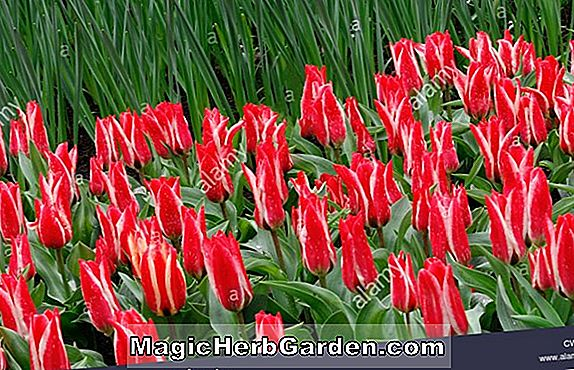 Planter: Tulipa (Dreaming Maid Tulip)