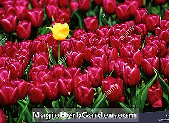 Tulipa (Fancy Frills Tulip)