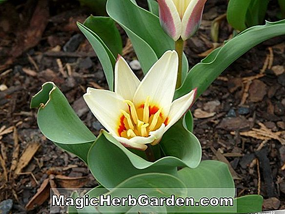Tulipa (Wallflower TUlip)