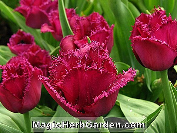 Tulipa (Fringed Flamingo Tulip)