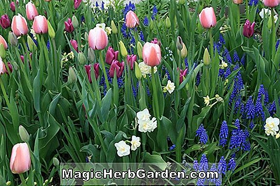 Planter: Tulipa (Golden Hind Tulip)