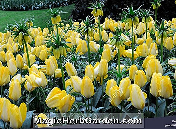 Planter: Tulipa (Golden Parade Tulip)