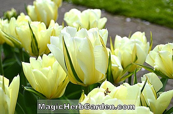 Tulipa (Green Eyes Tulip)