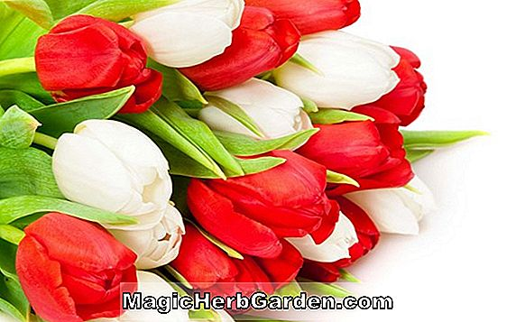 Tulipa (High Society Tulip)