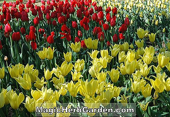 Planter: Tulipa (Mrs. Moon Tulip)