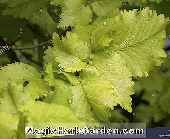 Ulmus carpinifolia (Smooth leaf Elm)