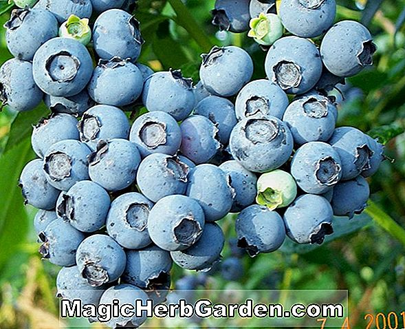 Planter: Vaccinium ashei (Rabbiteye Blueberry)