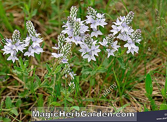Veronica prostrata (Heavenly Blue Prostrate Speedwell)