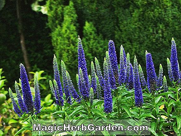 Planter: Veronica Spicata (Icicle Spike Speedwell)