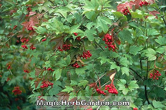 Planter: Viburnum trilobum (Wentworth American Cranberry Bush)