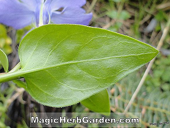 Planter: Vinca major (Large Periwinkle)