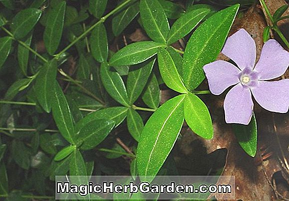 Vinca minor (Bowles White Common Periwinkle)