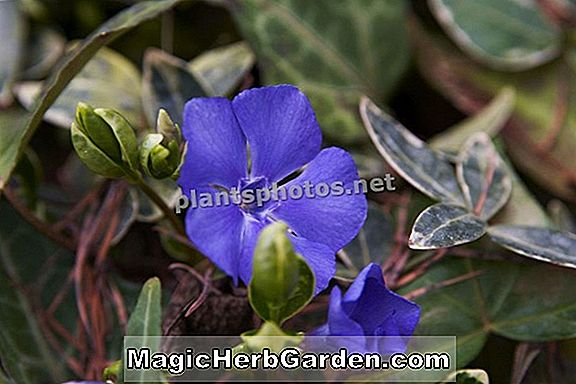 Vinca minor (Onland Blue Common Periwinkle)
