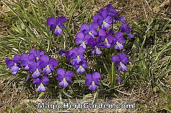 Viola biflora (Twin Flowered Violet)