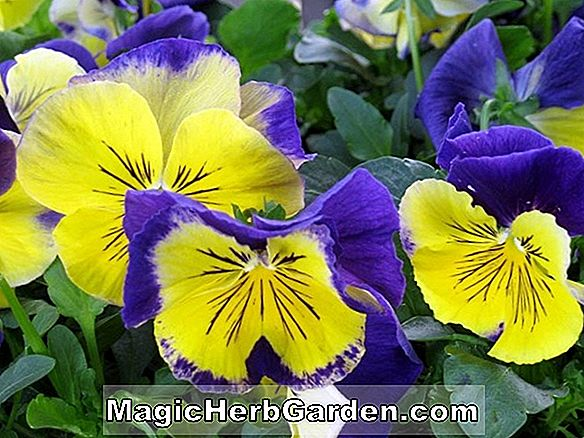 Viola wittrockiana (Imperial Gold Princess Pansy)