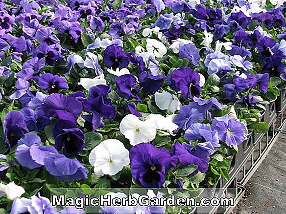 Planter: Viola Wittrockiana (Clear Crystal Series Pansy)