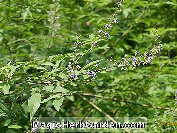 Planter: Vitex negundo (Chaste Tree)