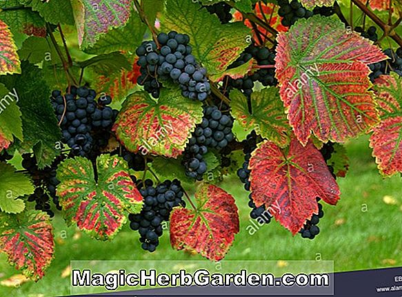 Vitis (Suffolk Red Grape)