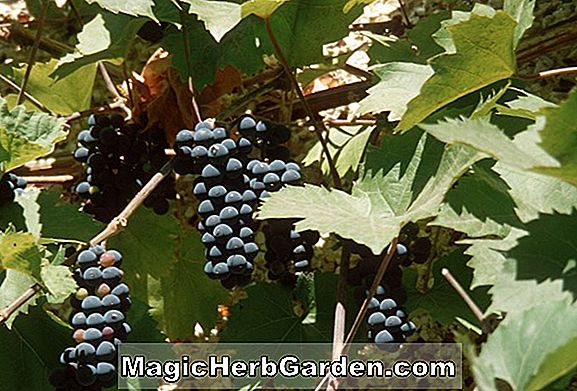 Vitis labrusca (Catawba Grape)
