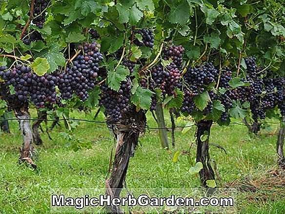 Vitis (Marechal Foch Grape)