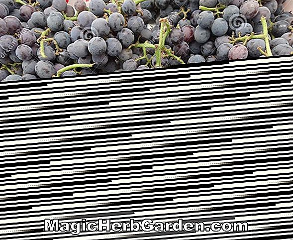 Plantes: Vitis labrusca (Fredonia Grape)