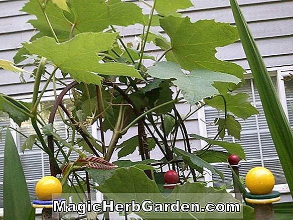 Planter: Vitis labrusca (Golden Muscat Grape)